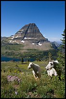 Mountain goats, Hidden Lake and Bearhat Mountain behind. Glacier National Park, Montana, USA. (color)