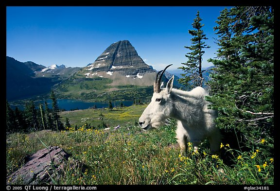 Mountain goat, Hidden Lake and Bearhat Mountain behind. Glacier National Park (color)