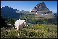 Mountain goat, Hidden Lake and Bearhat Mountain. Glacier National Park, Montana, USA. (color)