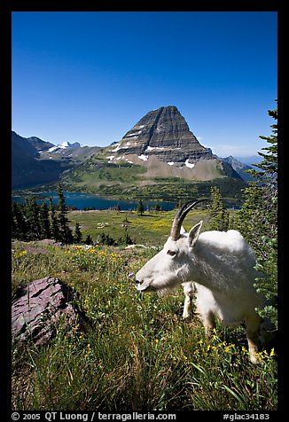 Mountain goat seen at close range near Hidden Lake overlook. Glacier National Park, Montana, USA.
