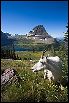 Mountain goat seen at close range near Hidden Lake overlook. Glacier National Park, Montana, USA. (color)