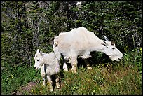 Mountain goat and kid. Glacier National Park, Montana, USA. (color)