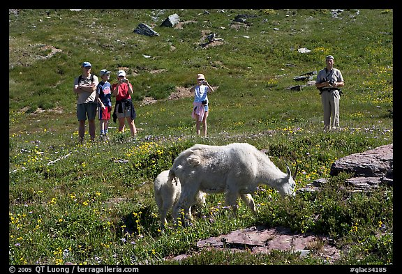 Visitors watching mountains goats near Logan Pass. Glacier National Park, Montana, USA.