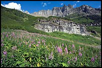 Fireweed below the Garden Wall. Glacier National Park, Montana, USA.
