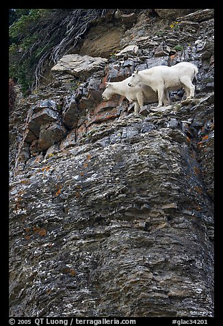 Mountain goats high on a ledge. Glacier National Park (color)