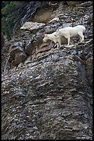 Mountain goats high on a ledge. Glacier National Park, Montana, USA. (color)