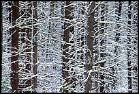 Snowy trees in winter. Glacier National Park, Montana, USA.