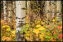 Undergrowth and aspen in autum. Glacier National Park ( color)