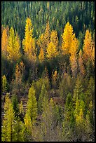 Aspen in various stage of fall foliage, North Fork. Glacier National Park ( color)