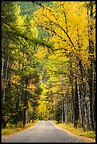 Road below canopy of tall trees in autumn, Apgar. Glacier National Park ( color)