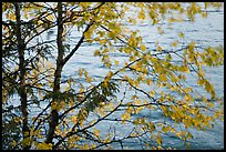 Tree branches blurred by wind, Lake McDonald. Glacier National Park ( color)
