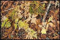 Close-up of ferns and fallen leaves in autumn. Glacier National Park ( color)