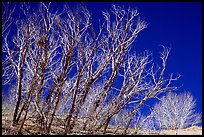 Ghost forest: squeletons of trees engulfed by the sands. Great Sand Dunes National Park, Colorado, USA.