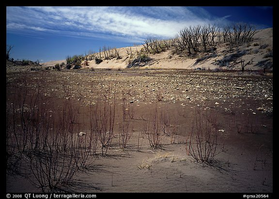 Ghost Forest, skeletons of trees engulfed by sands. Great Sand Dunes National Park (color)