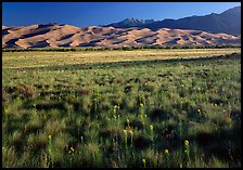 Wildflowers, grass prairie and dunes. Great Sand Dunes National Park, Colorado, USA.