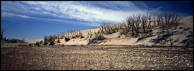 Dry wash and dunes with dead trees. Great Sand Dunes National Park (Panoramic color)