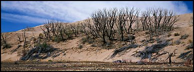 Dune edge with dead trees. Great Sand Dunes National Park and Preserve (Panoramic color)