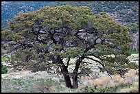 Pinyon pine tree. Great Sand Dunes National Park, Colorado, USA. (color)