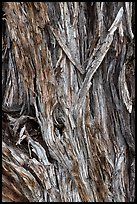 Bark detail of Pinyon pine trunk. Great Sand Dunes National Park and Preserve ( color)