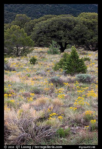 Slope with yellow flowers and pinyon pines. Great Sand Dunes National Park and Preserve (color)
