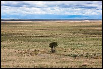 Lonely tree on plain. Great Sand Dunes National Park, Colorado, USA. (color)