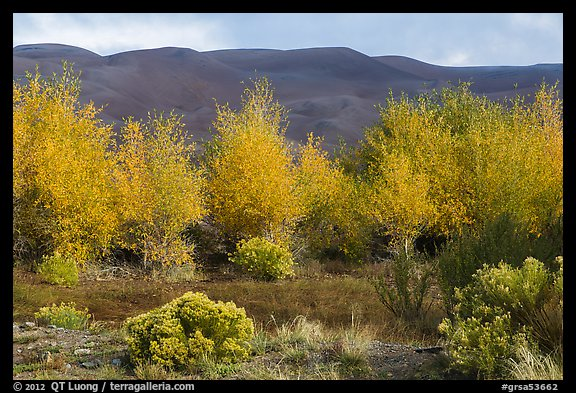Cottonwoods in fall foliage and dark dunes. Great Sand Dunes National Park and Preserve (color)