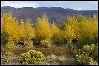 Cottonwoods in fall foliage and dark dunes. Great Sand Dunes National Park, Colorado, USA. (color)