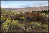 Shrubs in autumn and dunes. Great Sand Dunes National Park, Colorado, USA. (color)