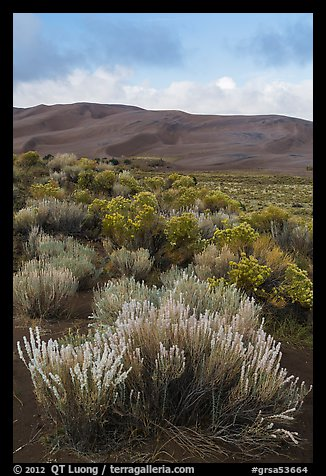 Shrubs and dunes. Great Sand Dunes National Park and Preserve (color)