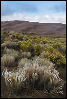 Shrubs and dunes. Great Sand Dunes National Park and Preserve ( color)