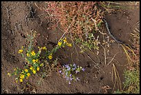Ground close-up with flowers, shrubs, and sand. Great Sand Dunes National Park and Preserve ( color)
