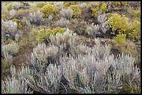 Grassland shrubs. Great Sand Dunes National Park, Colorado, USA. (color)