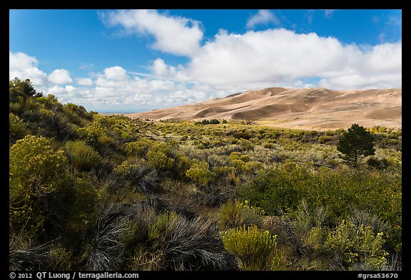 Rabbitbrush in autumn and dunes. Great Sand Dunes National Park and Preserve (color)