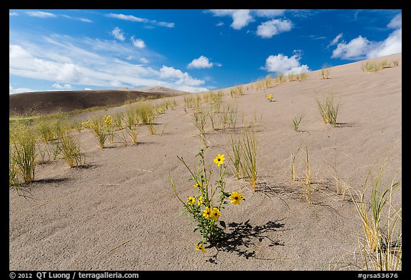 Prairie sunflowers and blowout grasses on sand dunes. Great Sand Dunes National Park and Preserve (color)