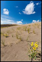 Prairie sunflowers and blowout grasses on dune field. Great Sand Dunes National Park, Colorado, USA. (color)
