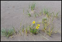 Close-up of Prairie sunflowers and blowout grasses. Great Sand Dunes National Park, Colorado, USA. (color)