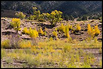 Riparian vegetation in autum foliage, Medano Creek. Great Sand Dunes National Park and Preserve ( color)