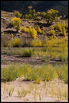 Shrubs and cottonwoods in autum foliage, Medano Creek. Great Sand Dunes National Park, Colorado, USA. (color)