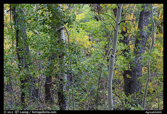 Forest in autumn along Mosca Creek. Great Sand Dunes National Park and Preserve (color)