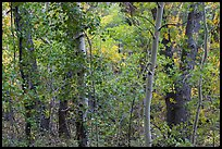Forest in autumn along Mosca Creek. Great Sand Dunes National Park, Colorado, USA. (color)