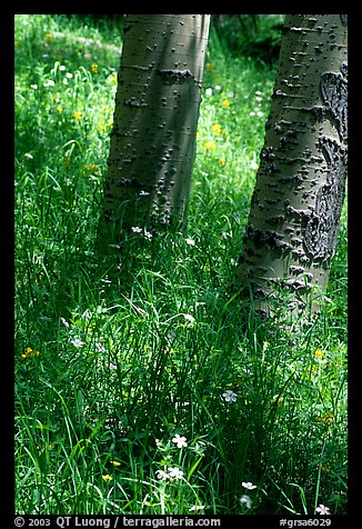 Aspen trunks in summer near Medora Pass. Great Sand Dunes National Park and Preserve (color)
