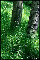 Aspen trunks in summer near Medora Pass. Great Sand Dunes National Park, Colorado, USA. (color)