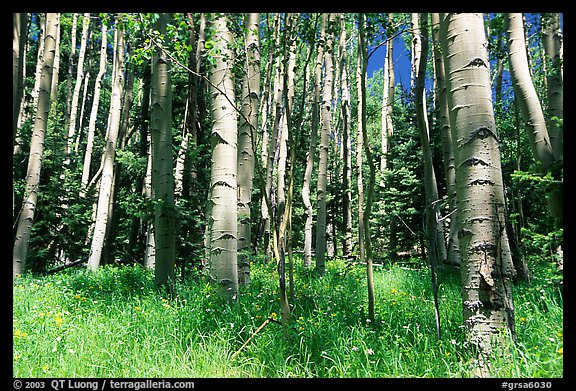 Aspen trees in summer near Medora Pass. Great Sand Dunes National Park and Preserve (color)