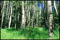 Aspen trees in summer near Medora Pass. Great Sand Dunes National Park, Colorado, USA. (color)