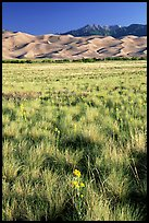 Grass and dunes, morning. Great Sand Dunes National Park, Colorado, USA. (color)