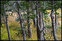 Fir trunks, Lower Sand Creek Lake. Great Sand Dunes National Park and Preserve ( color)