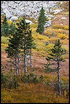 Fir trees, srubs in autumn color, and rocks. Great Sand Dunes National Park and Preserve ( color)