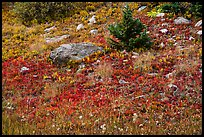 Berry plants in red autumn foliage. Great Sand Dunes National Park and Preserve ( color)