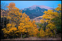 Aspen in autum foliage framing Mount Herard at dawn. Great Sand Dunes National Park and Preserve ( color)