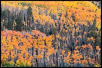 Golden aspen groves on slope. Great Sand Dunes National Park and Preserve, Colorado, USA.